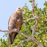 Tawny Eagle (2)