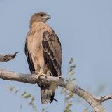 Tawny Eagle (4)