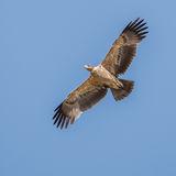 Tawny Eagle (5)