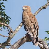 Tawny Eagle (6)