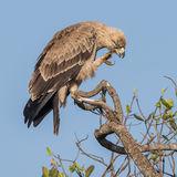 Tawny Eagle (7)