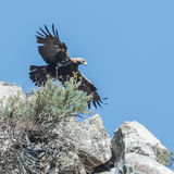 Spanish Imperial Eagle (2)