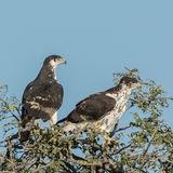 African Hawk-Eagle (1)