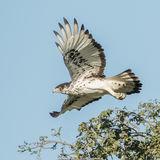 African Hawk-Eagle (2)