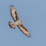 African Hawk-Eagle (3)
