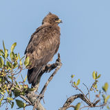 Long-crested Eagle (3)