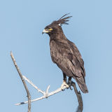 Long-crested Eagle (6)