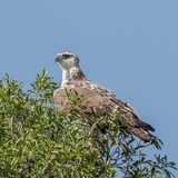 Martial Eagle (2)