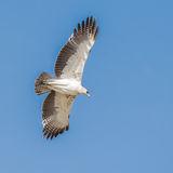 Martial Eagle (3)
