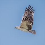 Martial Eagle (4)