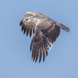 Martial Eagle (5)