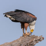 African Fish-Eagle (4)