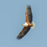 African Fish-Eagle (5)