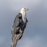 African Fish-Eagle (6)