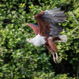 African Fish-Eagle (7)