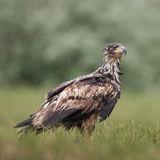 White-tailed Eagle (2)