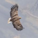 White-tailed Eagle (9)