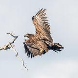 White-tailed Eagle (10)