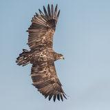 White-tailed Eagle (11)