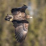 White-tailed Eagle (12)