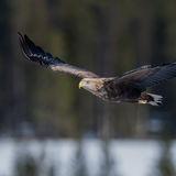 White-tailed Eagle (13)