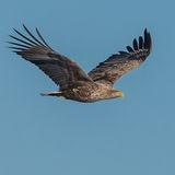 White-tailed Eagle (14)