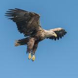White-tailed Eagle (15)