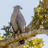 Chaco Eagle (1)