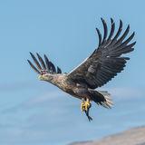 White-tailed Eagle (17)