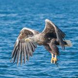 White-tailed Eagle (18)