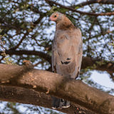 African Harrier-Hawk (1)