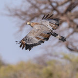 African Harrier-Hawk (2)