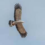 African Harrier-Hawk (4)
