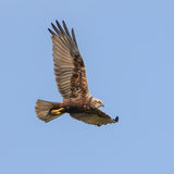 Western Marsh Harrier (1)