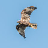 Western Marsh Harrier (2)