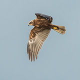 Western Marsh Harrier (3)
