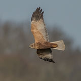 Western Marsh Harrier (4)