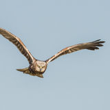 Western Marsh Harrier (5)