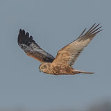 Western Marsh Harrier (6)