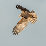 Western Marsh Harrier (7)