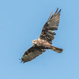 Western Marsh Harrier (8)
