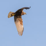 Western Marsh Harrier (9)