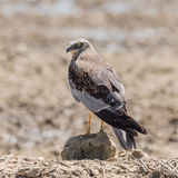 Western Marsh Harrier (10)