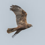 Western Marsh Harrier (11)