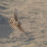 Hen Harrier (1)