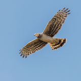 Hen Harrier (2)