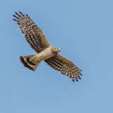 Hen Harrier (3)