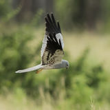 Montagu's Harrier (1)