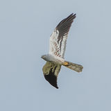 Montagu's Harrier (2)