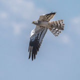 Montagu's Harrier (3)